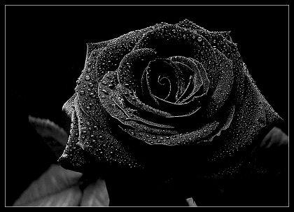 Dew Resting On Black Rose