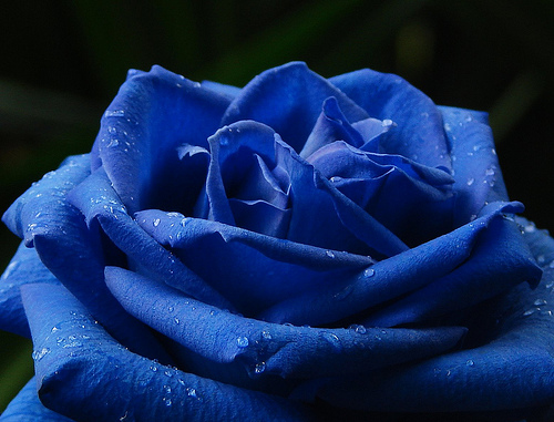 Blue Rose Image for Fb Share