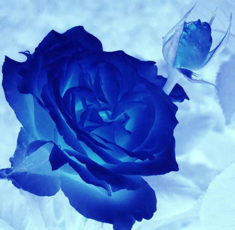 Beautiful Blue Rose Picture for Myspace