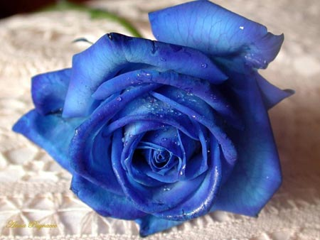Beautiful Blue Rose for Orkut