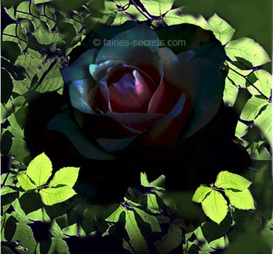 Awesome Black Rose Picture for Friendster