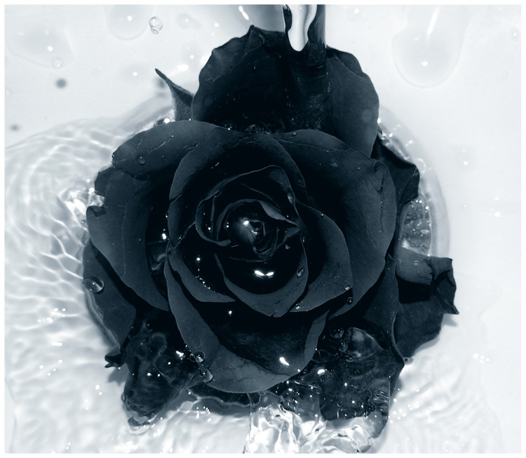 Beautiful black Rose Picture for Orkut