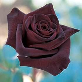 Black Rose Image for Friendster