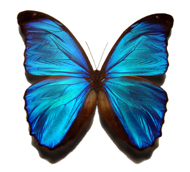 Blue Butterfly Graphic for Fb Share