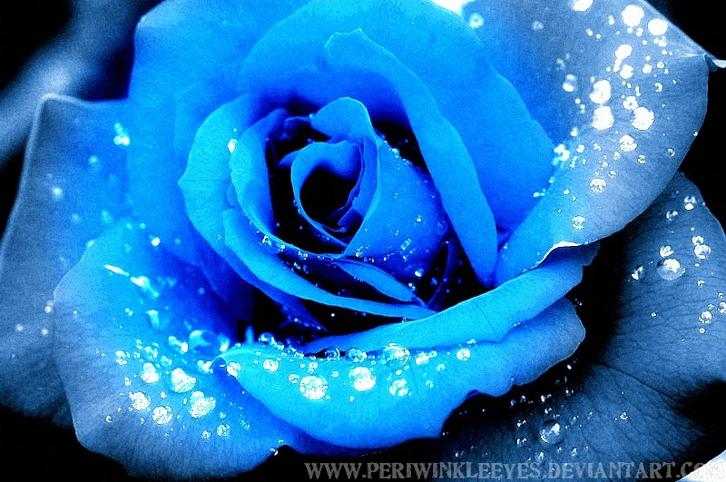 Blue Rose Image for Orkut