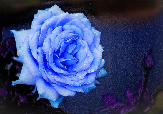 Blue Rose Graphic for Hi5