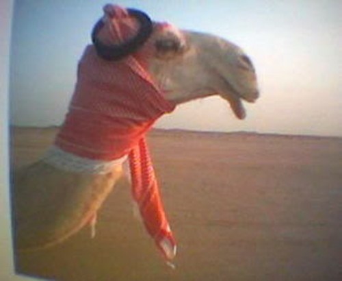 Funny Camel in Scaff Picture