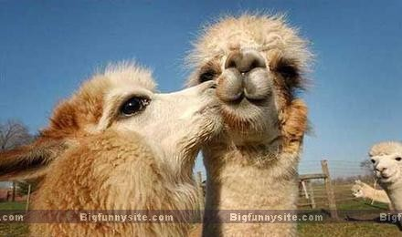 Funny Camel Kiss Picture
