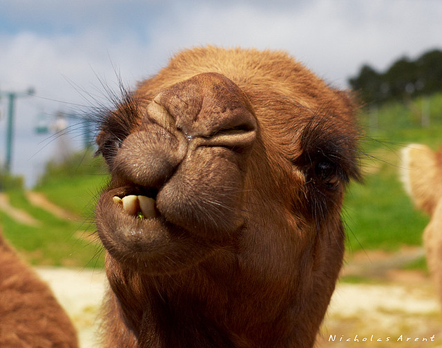 Funny Camel Shows his Teeth Picture