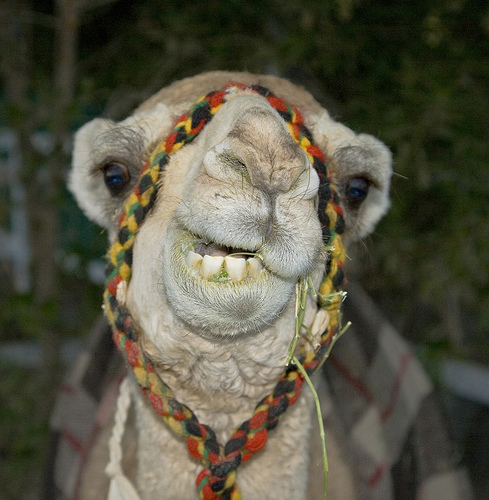 Funny Camel Smiling Picture for Fb Share