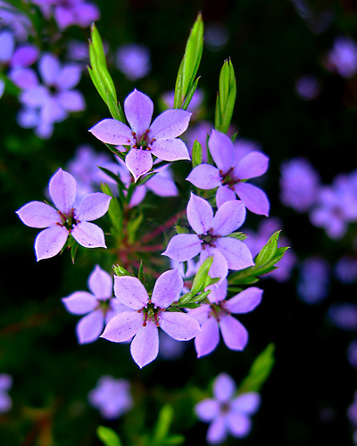 Purple Flowers Graphic for Fb Share