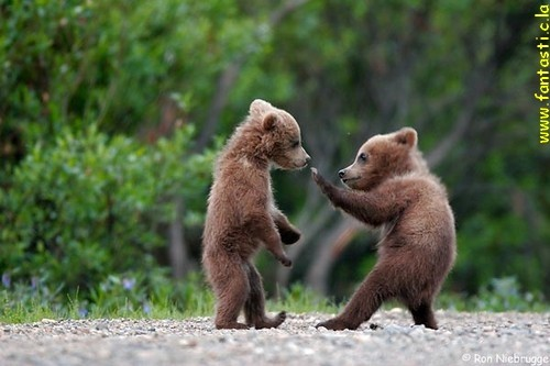 Funny Bears Fighting Picture for Fb Share
