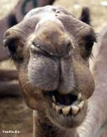 Funny Camel Face Picture for Orkut