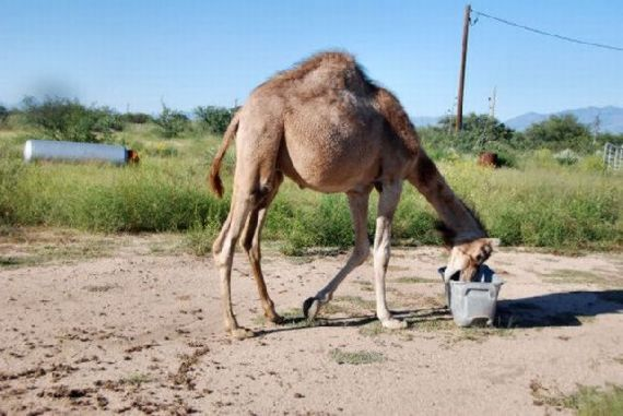 Funny Camel Picture for Tagged