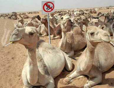 Funny Camel Smoking Picture