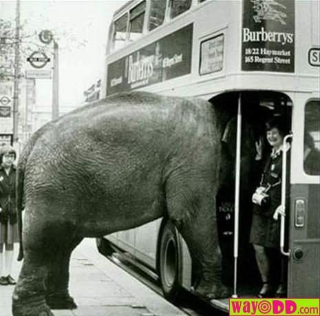 Funny Elephant on the Bus