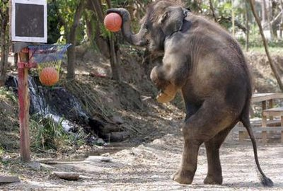 Funny Elephant Playing the Basketball