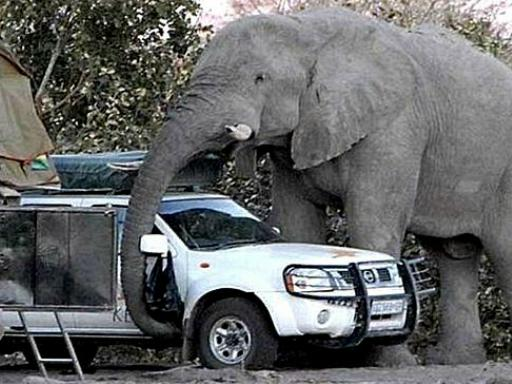 Funny elephant with car Picture