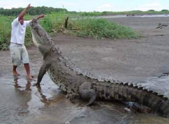 Funny Crocodile Picture