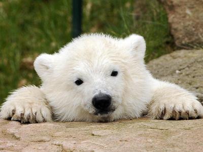 Polar White Bear Picture