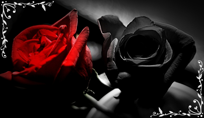 Red and Black Rose Picture