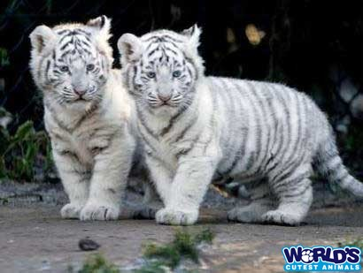 Funny White Tiger Picture for Fb Share