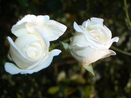 A Couple of White Rose