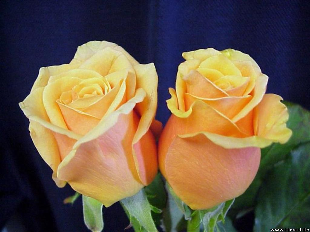 A Couple of Yellow Roses