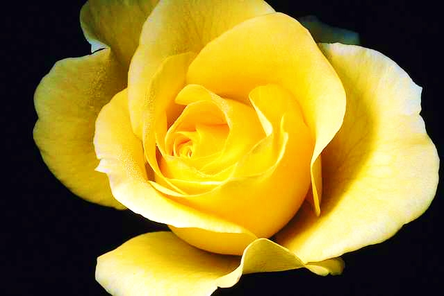 Alone Yellow Rose Picture
