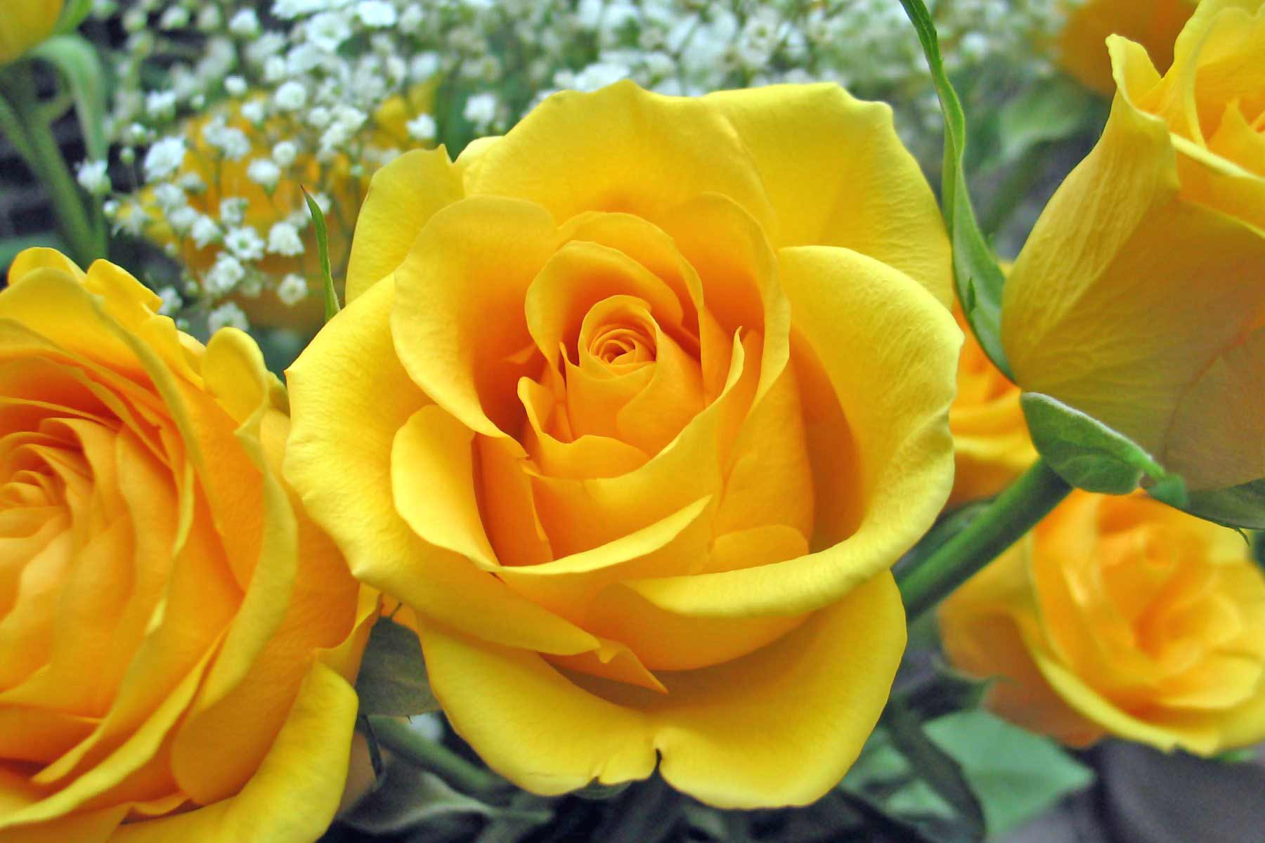 Awesome Yellow Roses Image for Fb Share