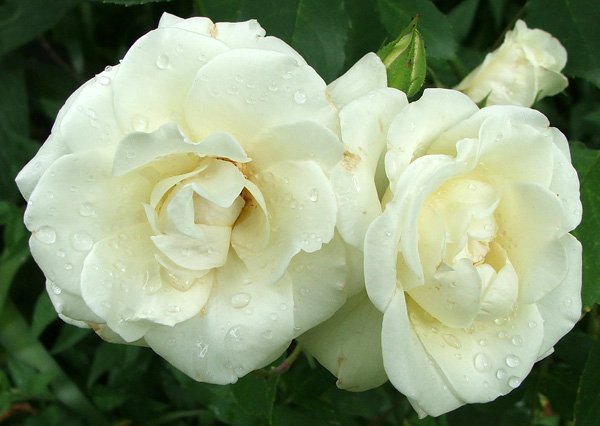 Beautiful Two White Roses Picture