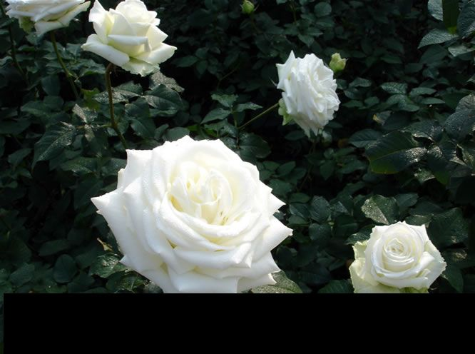 Beautiful White Roses Picture