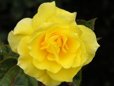Beautiful Yellow Rose Picture