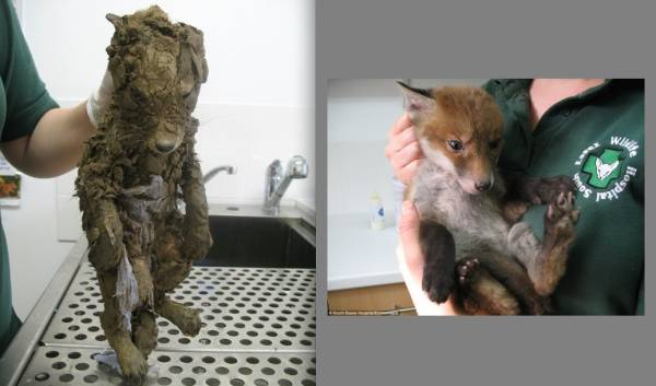 Before and After Baby fox was found fighting Funny Animal Picture
