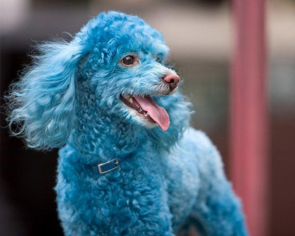 Funny Blue Poodle Dog Picture for Fb Share