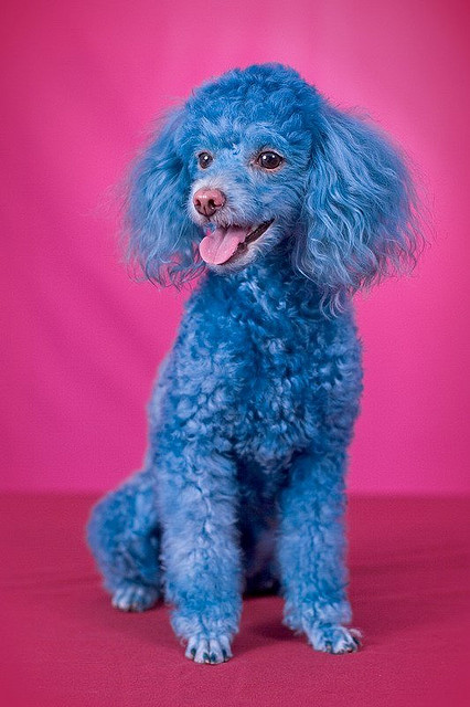Funny poodle Dog Picture for Friendster