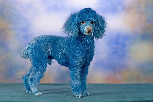 Funny Poodle Dog Image for Orkut