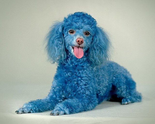 Funny Poodle Dog Picture for Fb Share