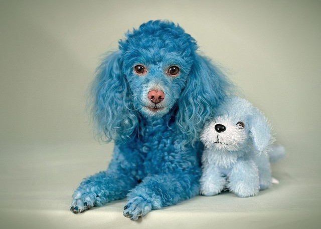 Funny Poodle Dog with Puppy