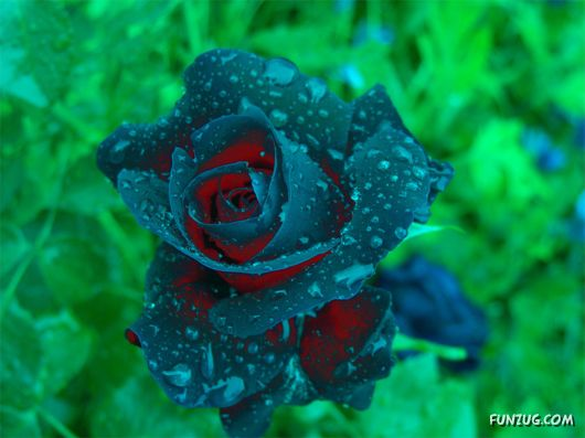Blue Rose Picture