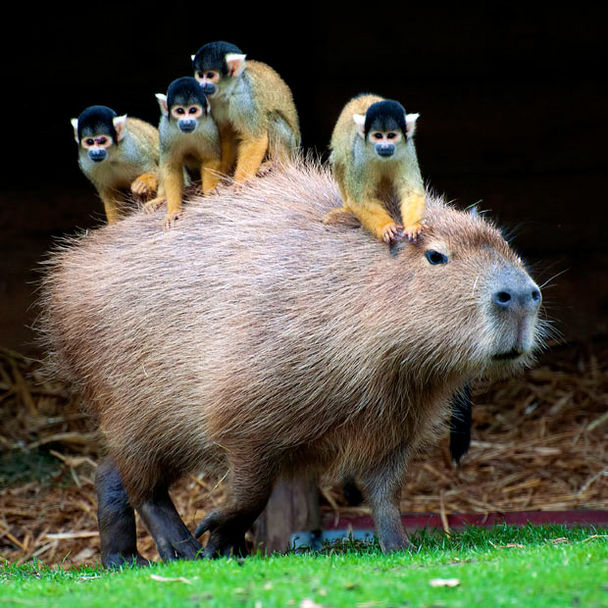 Capybara with tiny monkeys riding on its back Funny Animal Picture