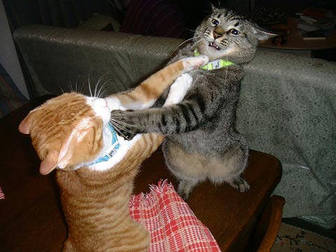 Funny Cats Fight with each Other