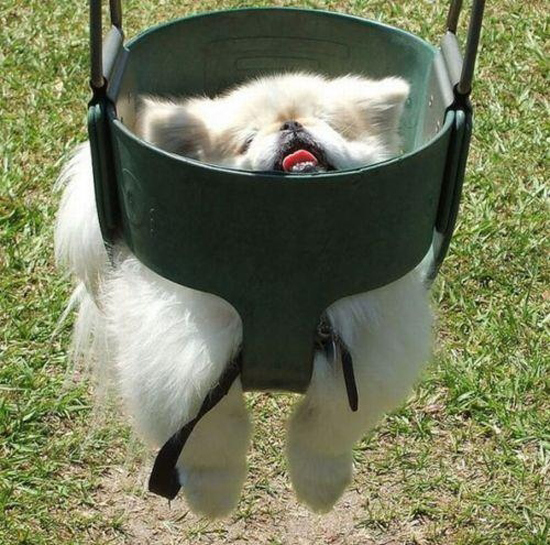 Derp in a swing Funny Dog Picture