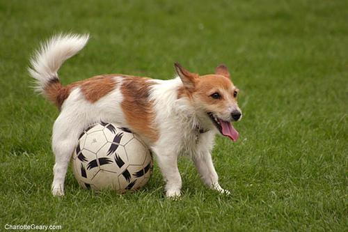 Funny Dog Playing Football Image