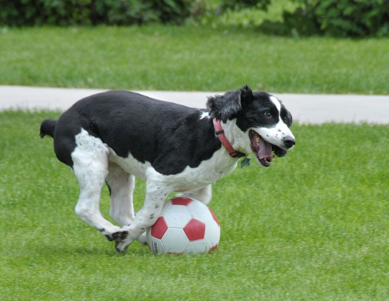 Funny Black & White Dog Playing Football Picture
