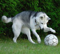 Funny White Dog Playing Soccer Picture