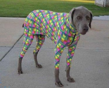 Funny Dog in Funny Colourful Dress Picture