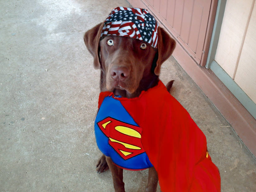 Funny Dog in Superman Dress