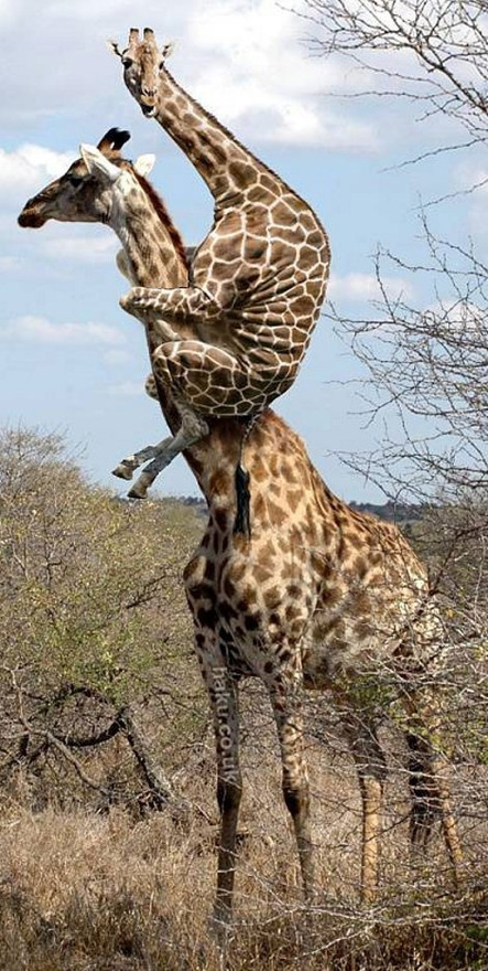 Every time my wife sees a spider… Funny Giraffe Image