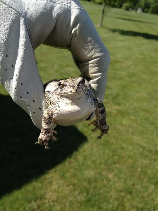 Friend Was Golfing…Toad Ate The Golf Ball Funny Frog picture